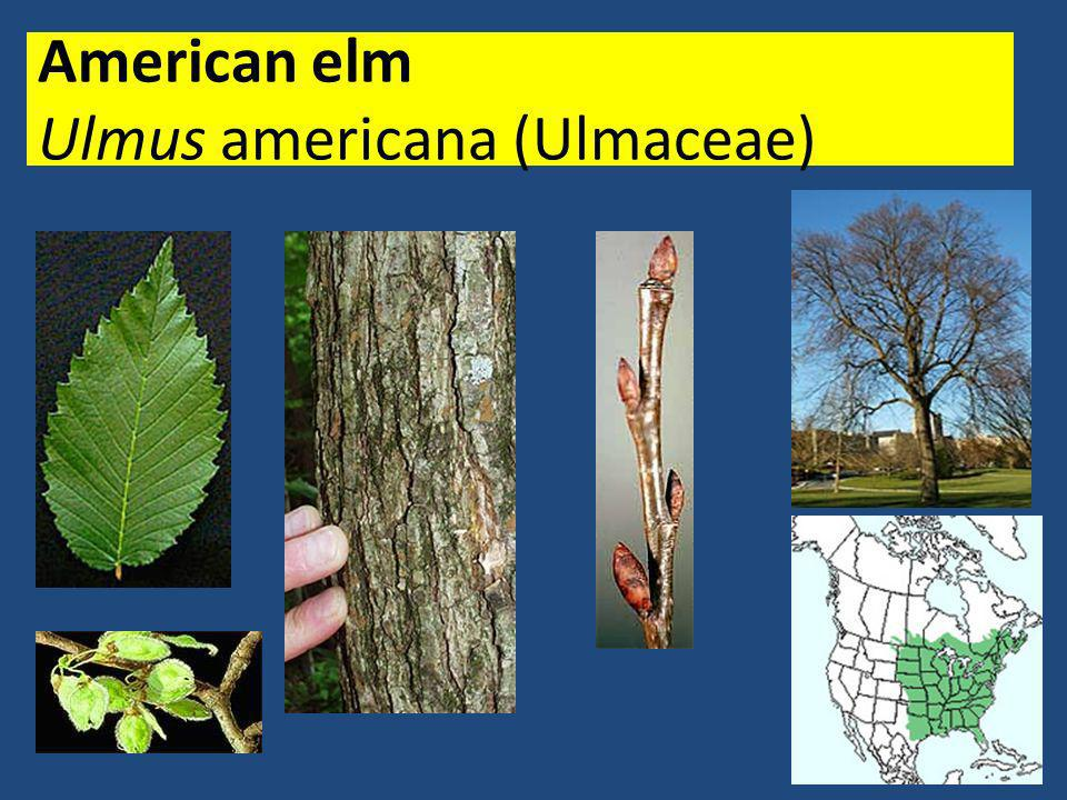 American elm Ulmus americana (Ulmaceae)