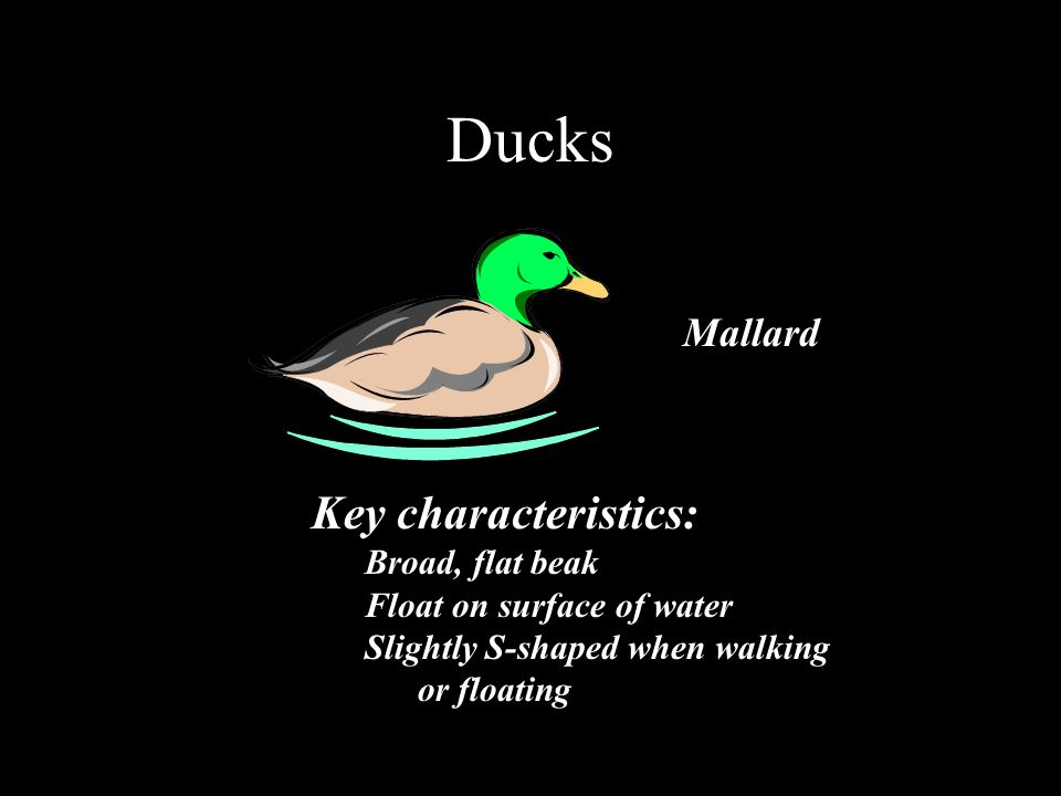 Ducks Key characteristics: Mallard Broad, flat beak
