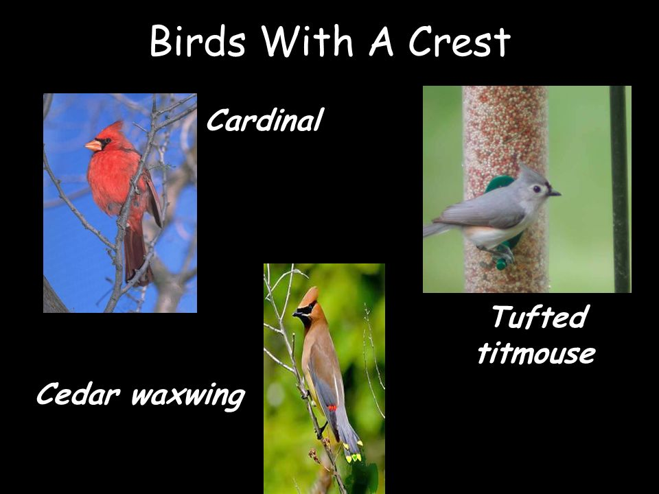 Birds With A Crest Cardinal Tufted titmouse Cedar waxwing