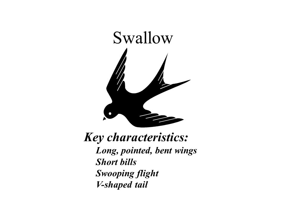 Swallow Key characteristics: Long, pointed, bent wings Short bills