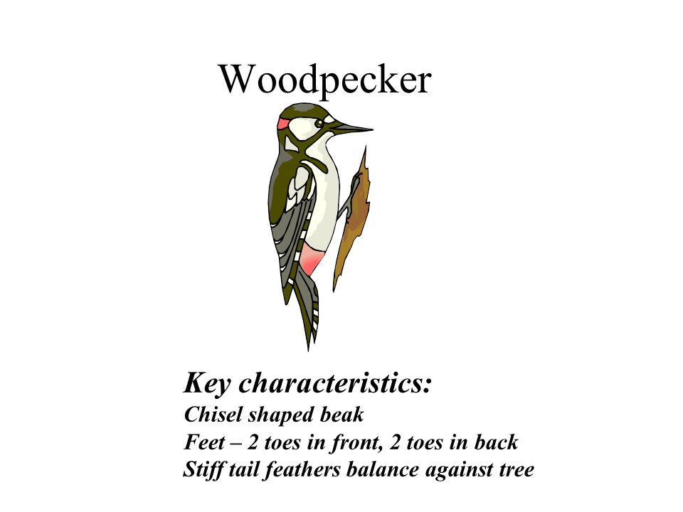 Woodpecker Key characteristics: Chisel shaped beak