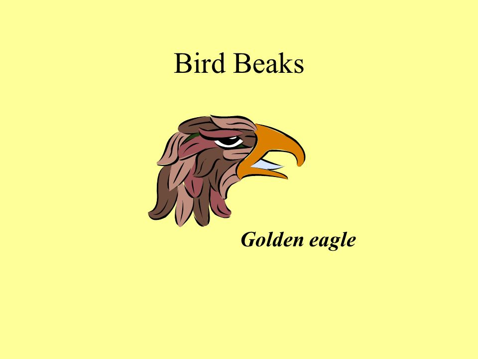 Bird Beaks Golden eagle