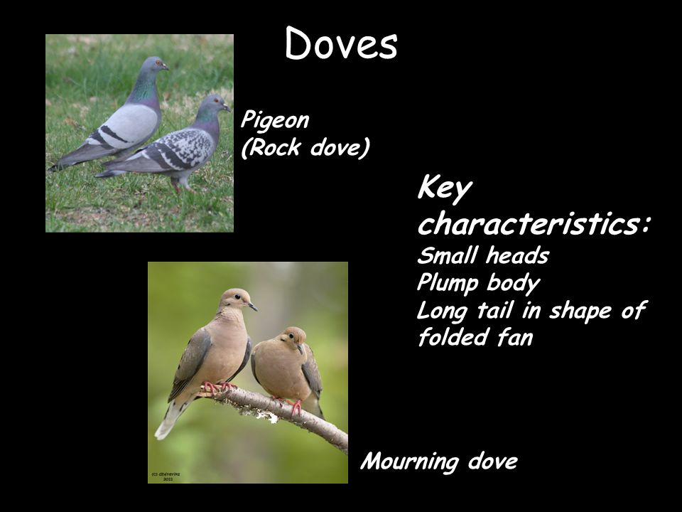 Doves Key characteristics: Pigeon (Rock dove) Small heads Plump body