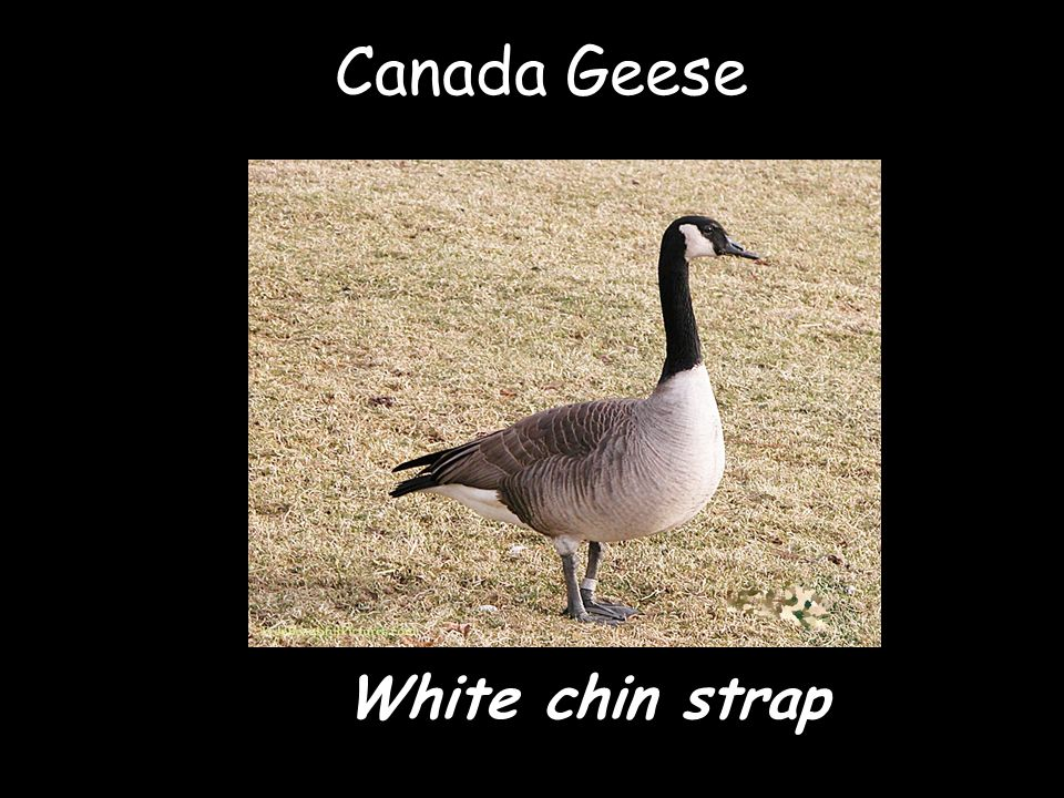Canada Geese White chin strap