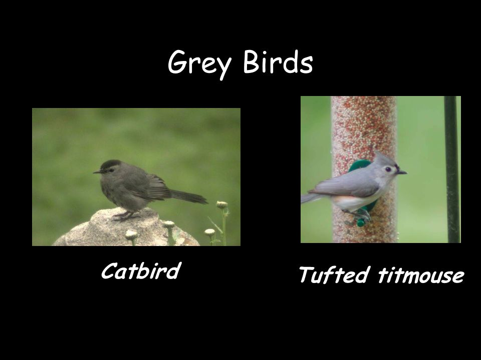 Grey Birds Catbird Tufted titmouse