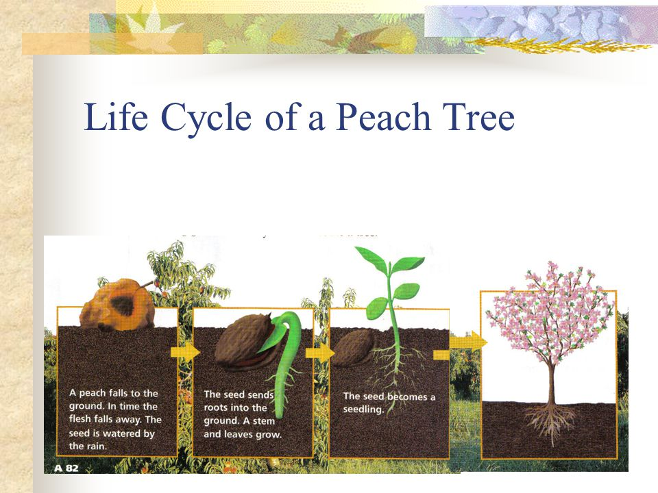 Life Cycle of a Peach Tree