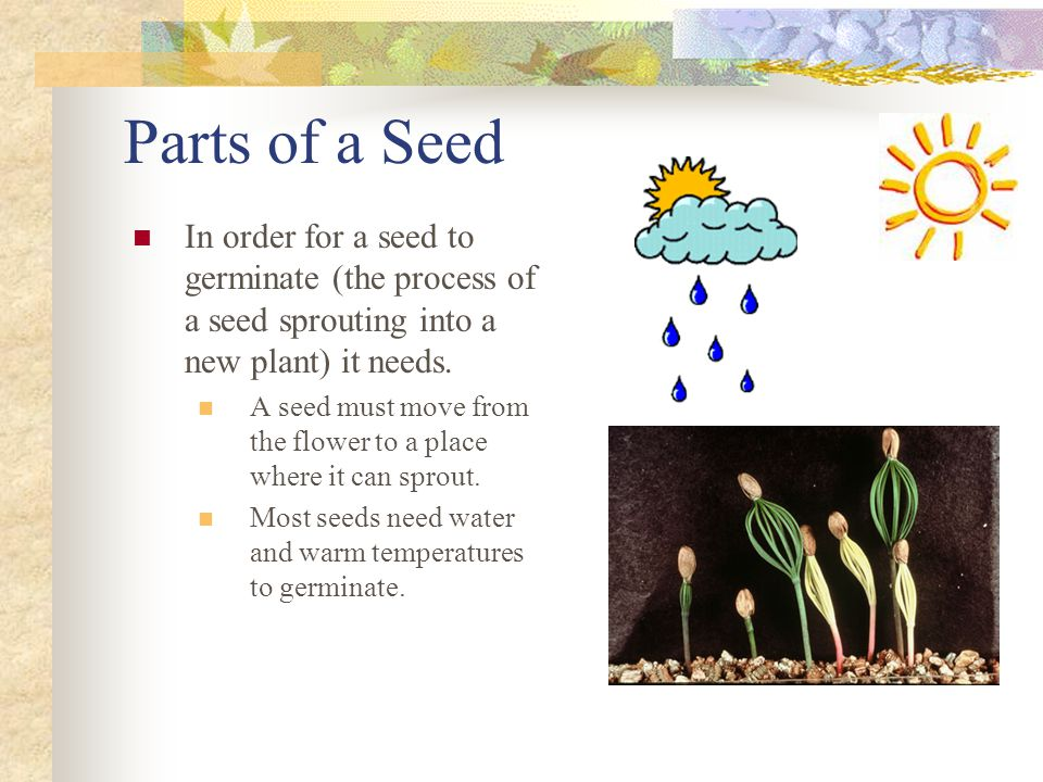 Parts of a Seed In order for a seed to germinate (the process of a seed sprouting into a new plant) it needs.