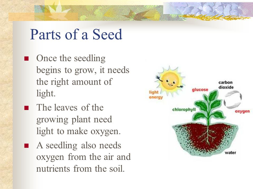 Parts of a Seed Once the seedling begins to grow, it needs the right amount of light. The leaves of the growing plant need light to make oxygen.