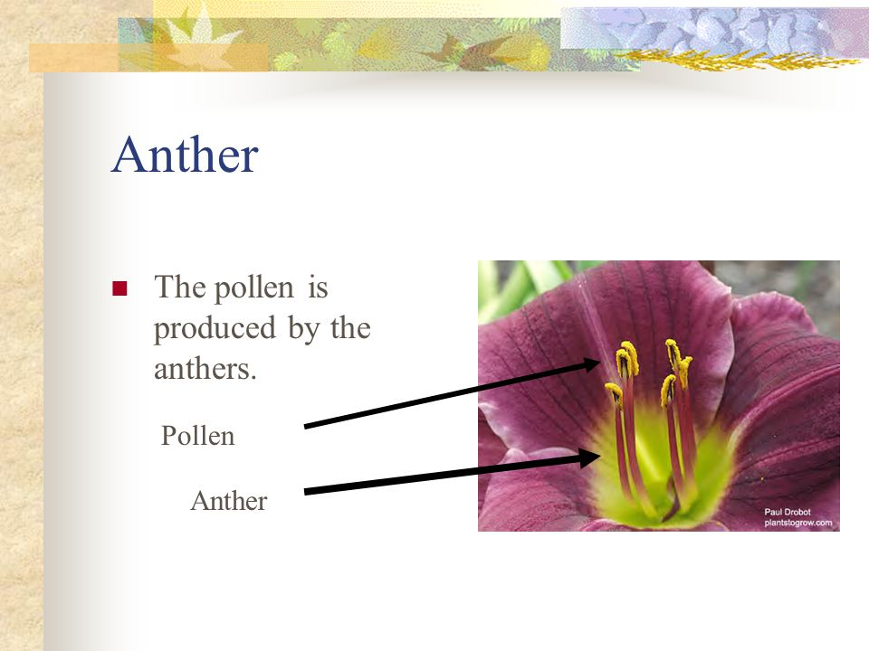 Anther The pollen is produced by the anthers. Pollen Anther