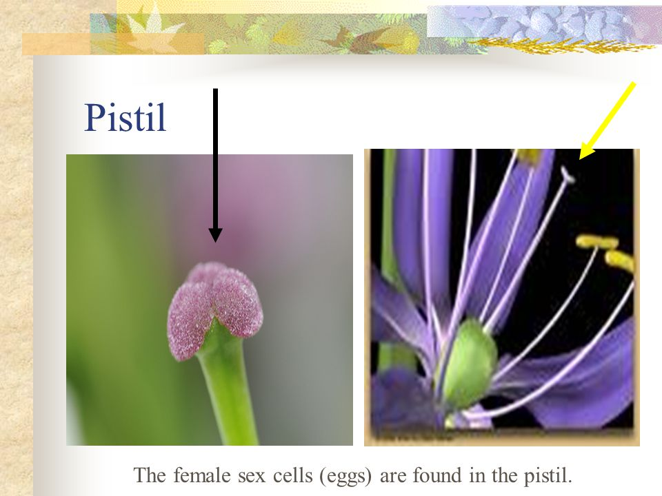The female sex cells (eggs) are found in the pistil.