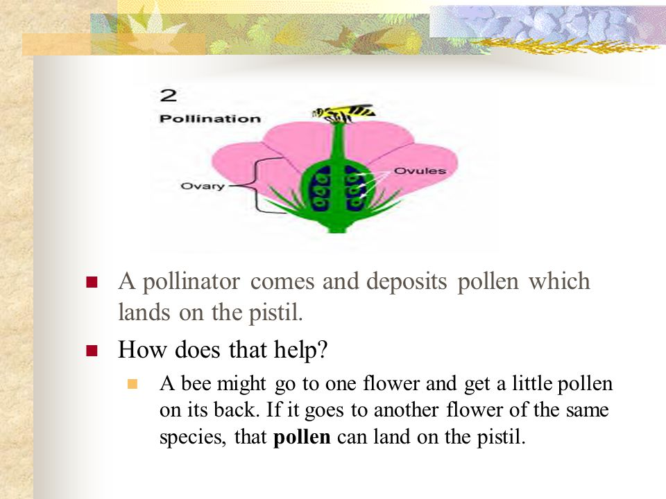 A pollinator comes and deposits pollen which lands on the pistil.