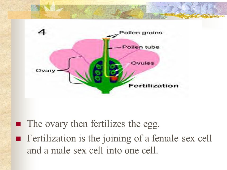 The ovary then fertilizes the egg.