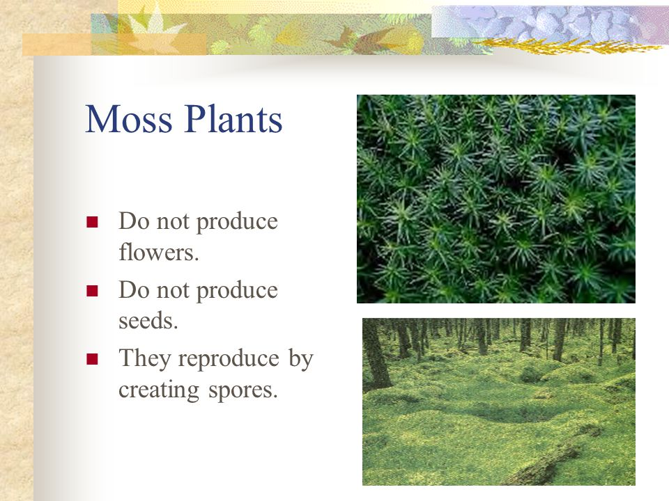Moss Plants Do not produce flowers. Do not produce seeds.