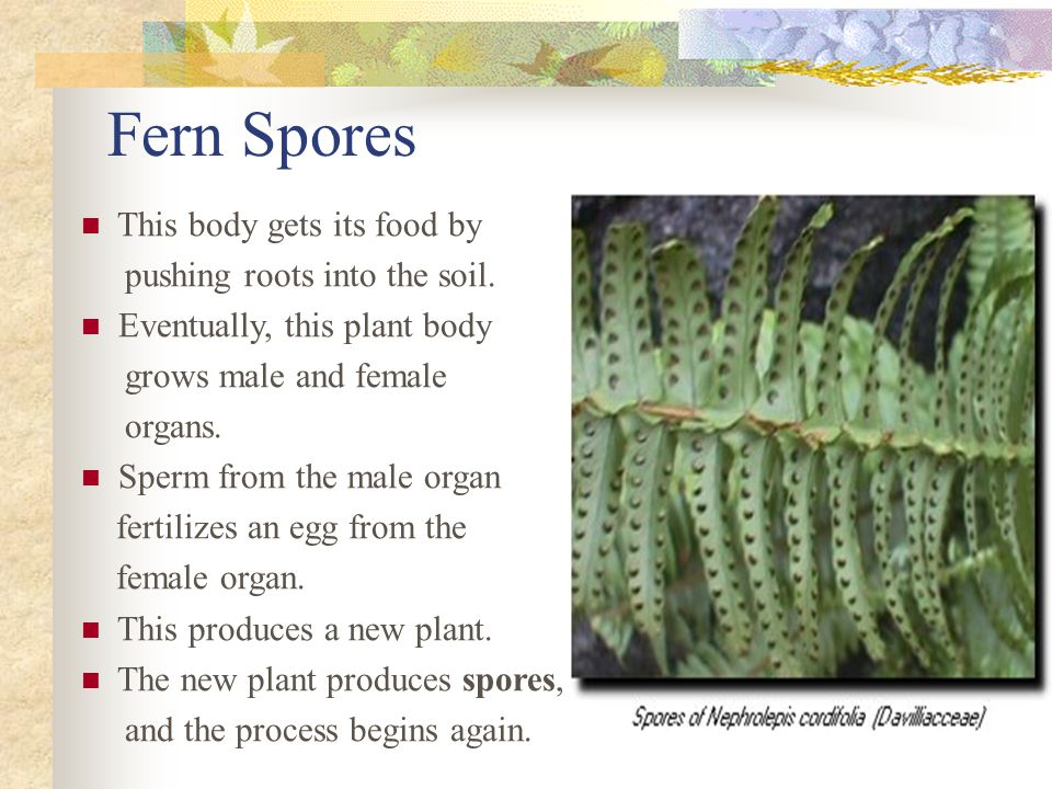 Fern Spores This body gets its food by pushing roots into the soil.