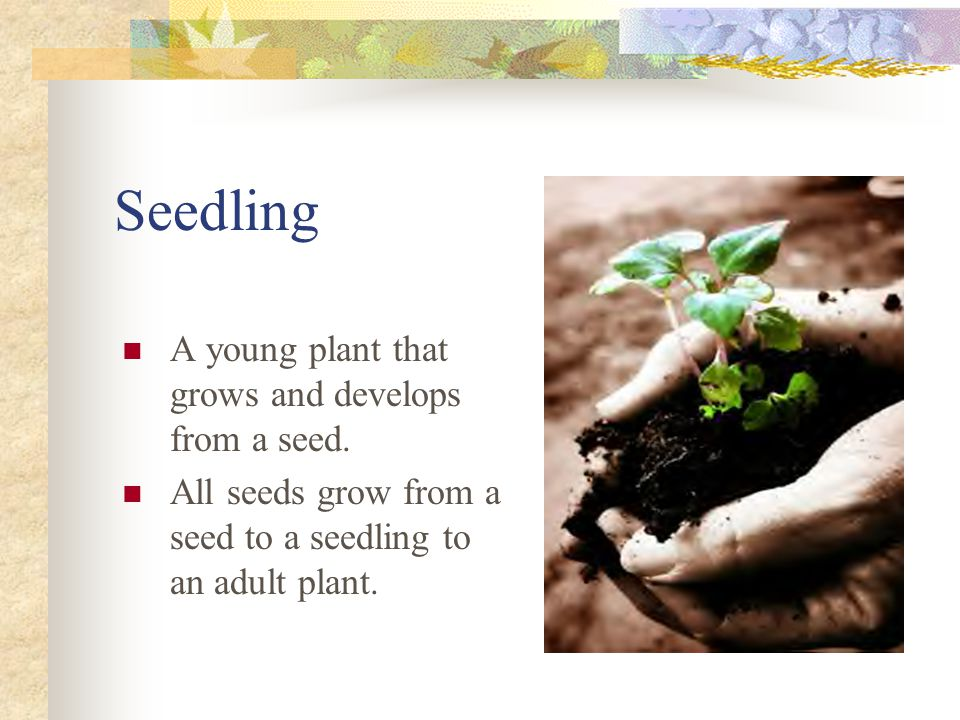 Seedling A young plant that grows and develops from a seed.