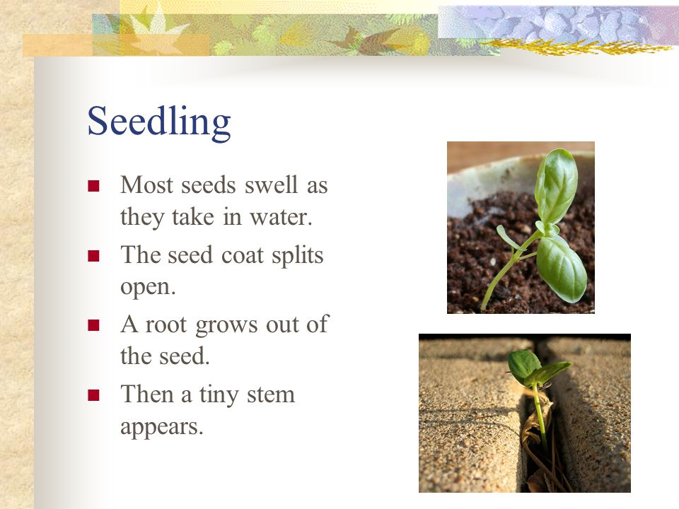 Seedling Most seeds swell as they take in water.