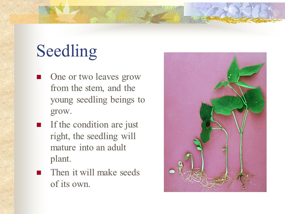 Seedling One or two leaves grow from the stem, and the young seedling beings to grow.