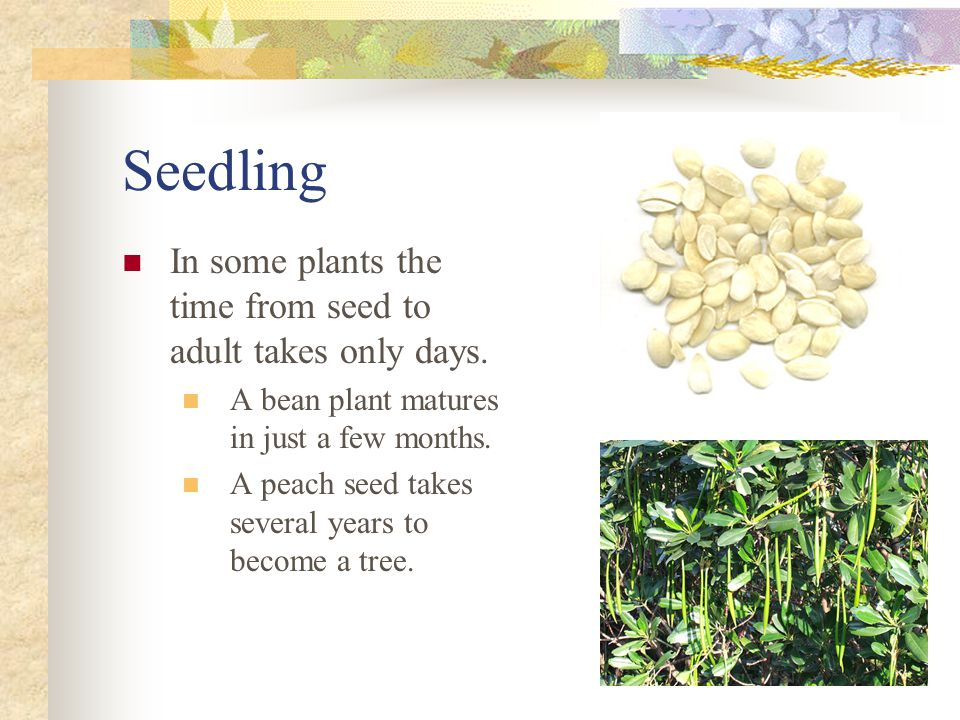 Seedling In some plants the time from seed to adult takes only days.