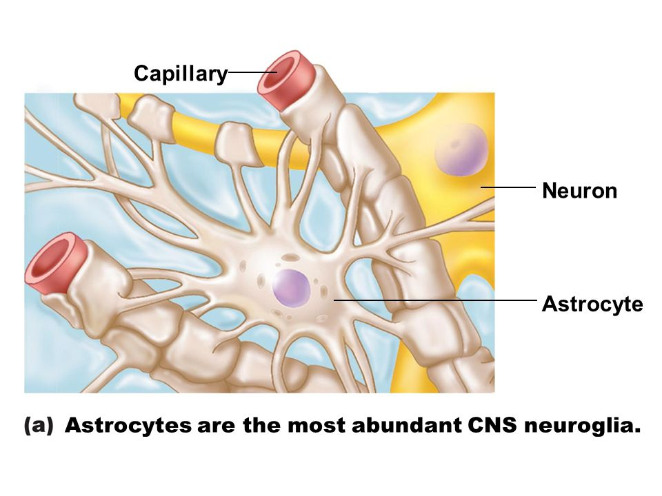 Capillary Neuron Astrocyte