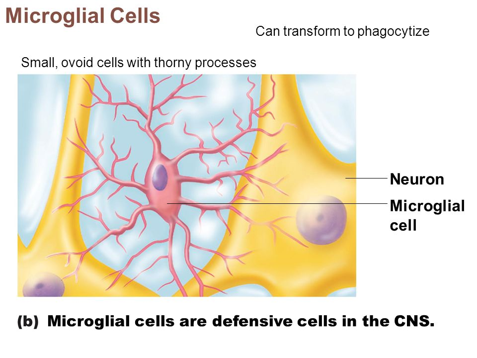 Microglial Cells Neuron Microglial cell