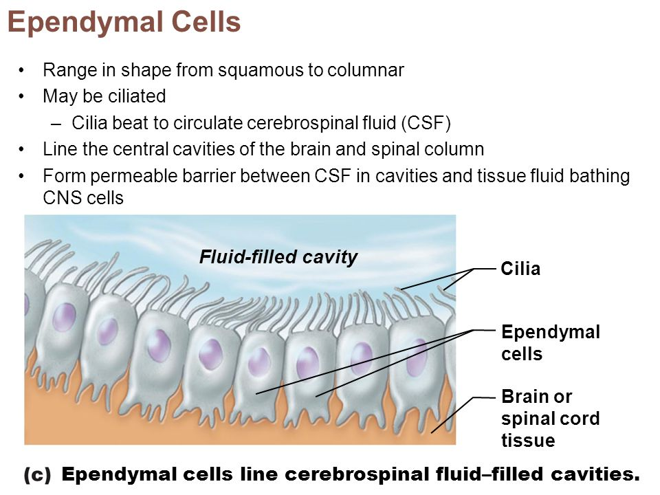 Ependymal Cells Fluid-filled cavity