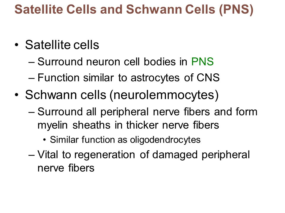 Satellite Cells and Schwann Cells (PNS)