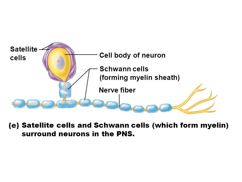 Satellite cells. Cell body of neuron. Schwann cells. (forming myelin sheath) Nerve fiber. Satellite cells and Schwann cells (which form myelin)