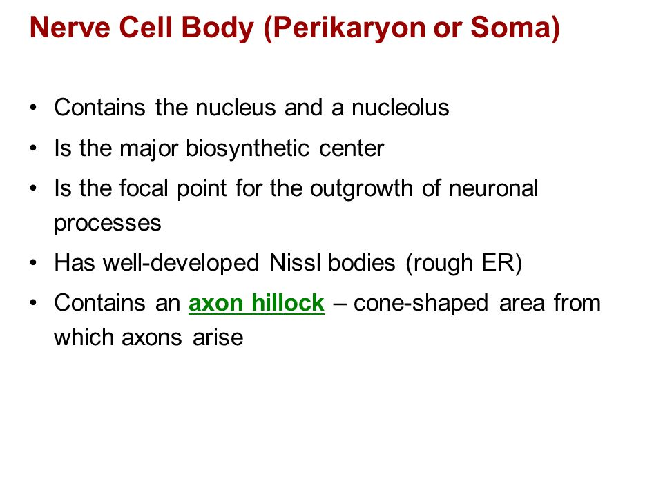 Nerve Cell Body (Perikaryon or Soma)