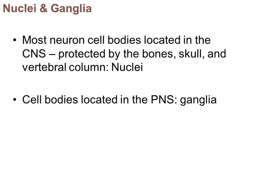 Nuclei & Ganglia Most neuron cell bodies located in the CNS – protected by the bones, skull, and vertebral column: Nuclei.