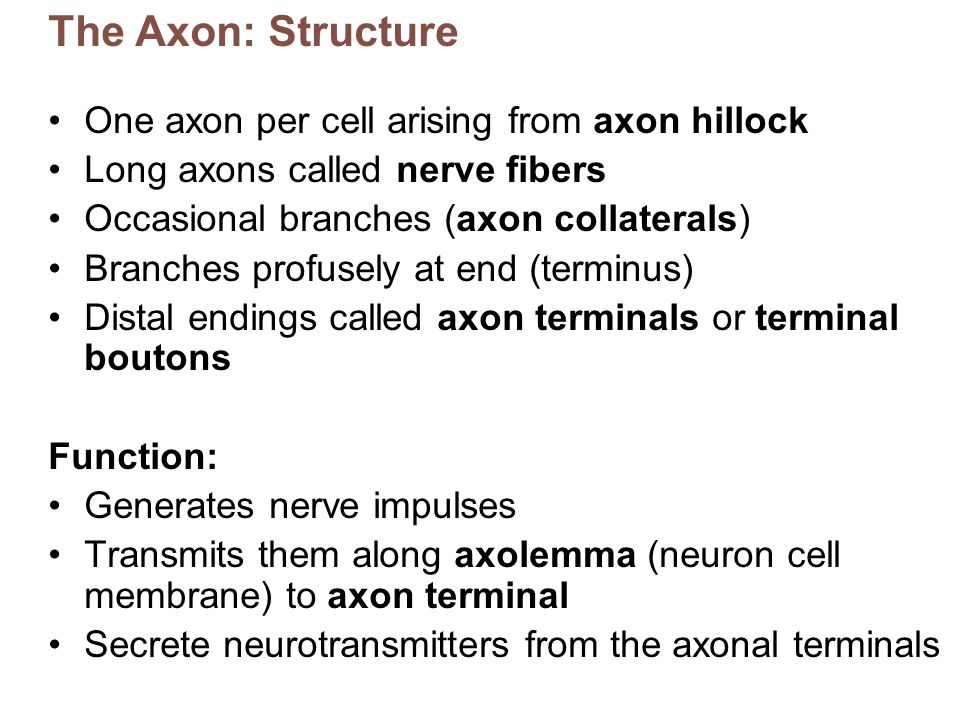 The Axon: Structure One axon per cell arising from axon hillock