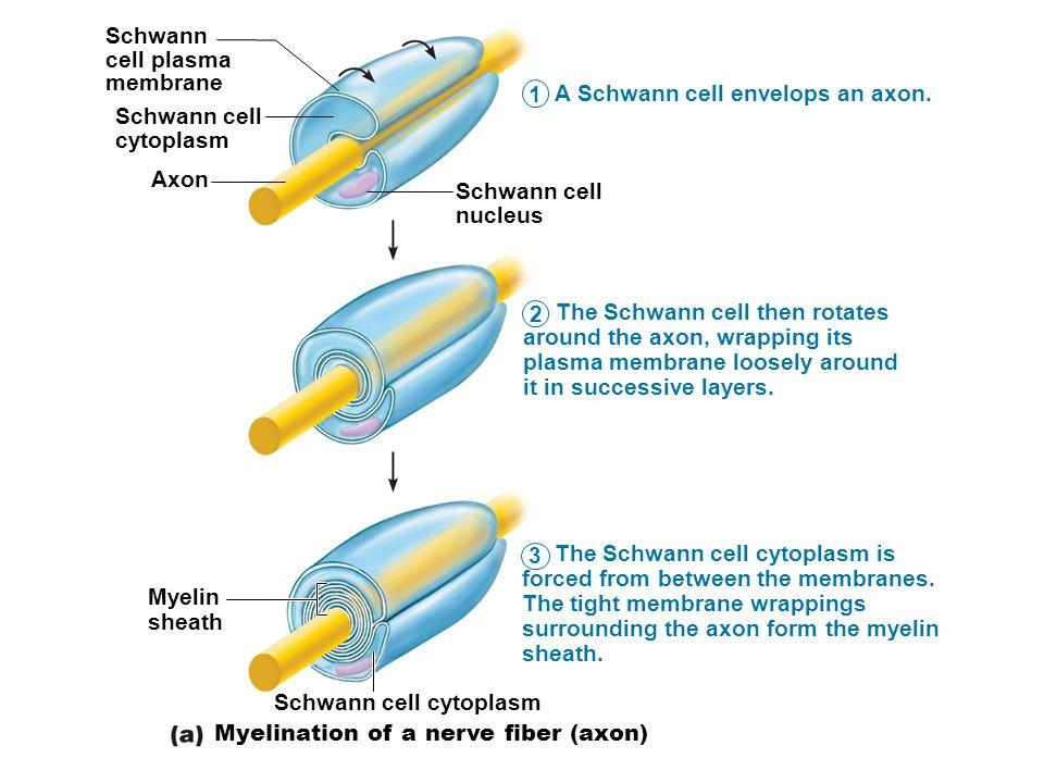 Schwann cell plasma. membrane. A Schwann cell envelops an axon. 1. Schwann cell. cytoplasm. Axon.