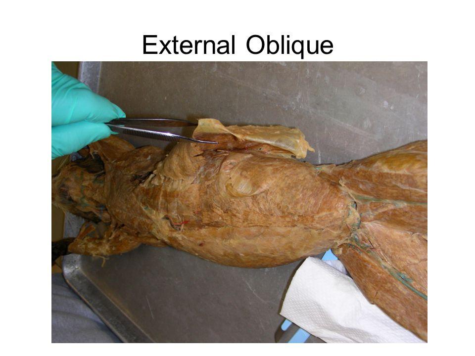 External Oblique