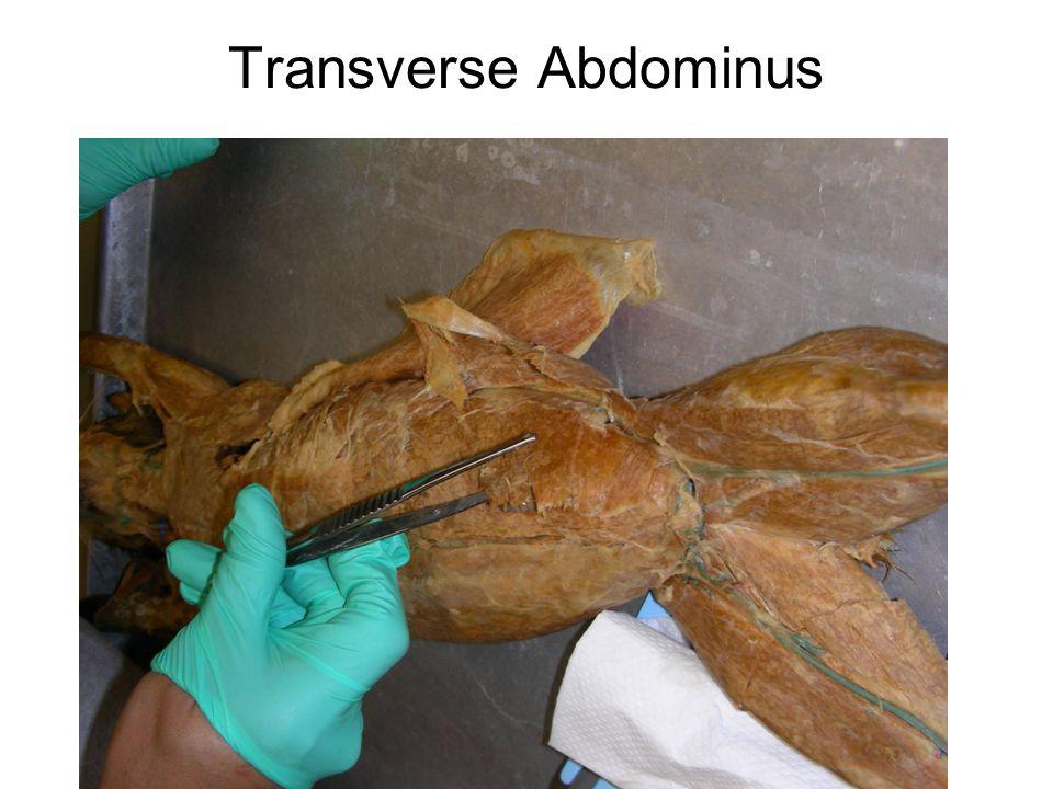 Transverse Abdominus