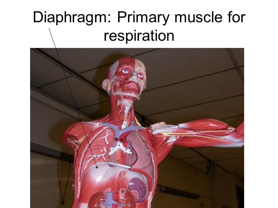 Diaphragm: Primary muscle for respiration