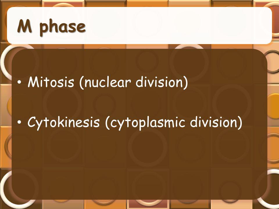 M phase Mitosis (nuclear division) Cytokinesis (cytoplasmic division)