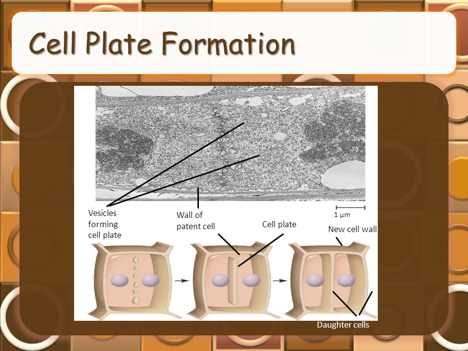 Cell Plate Formation Vesicles forming cell plate Wall of patent cell