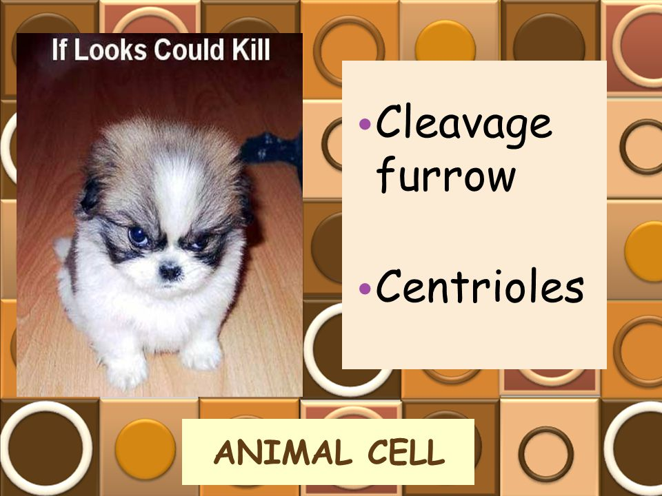 Cleavage furrow Centrioles ANIMAL CELL