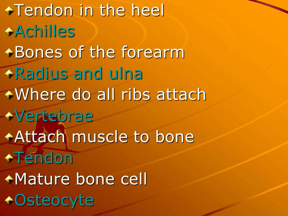 Tendon in the heel Achilles. Bones of the forearm. Radius and ulna. Where do all ribs attach. Vertebrae.