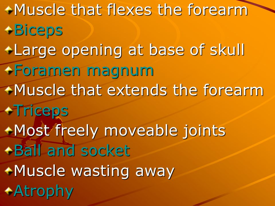 Muscle that flexes the forearm
