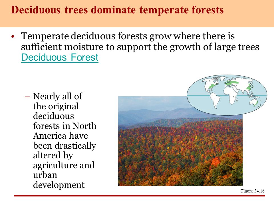 Deciduous trees dominate temperate forests