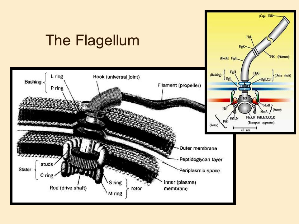 The Flagellum