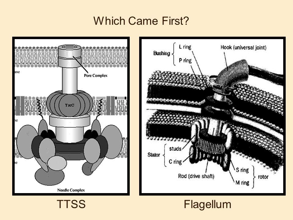 Which Came First TTSS Flagellum