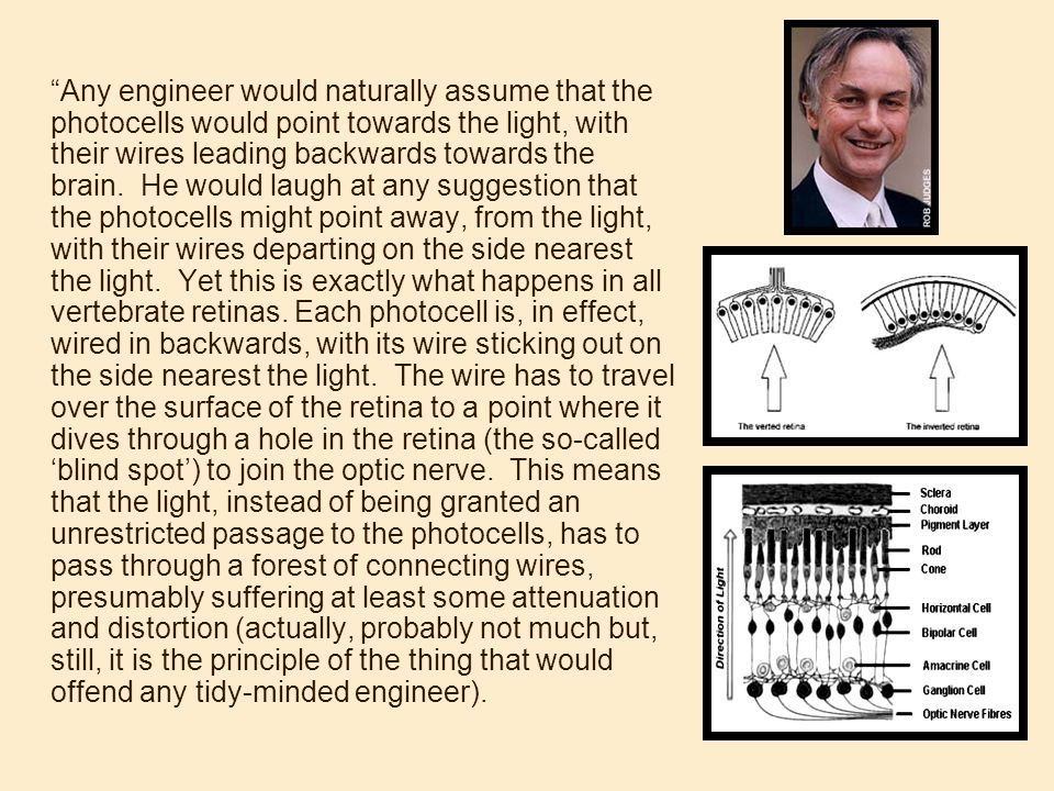 Any engineer would naturally assume that the photocells would point towards the light, with their wires leading backwards towards the brain. He would laugh at any suggestion that the photocells might point away, from the light, with their wires departing on the side nearest the light. Yet this is exactly what happens in all vertebrate retinas.