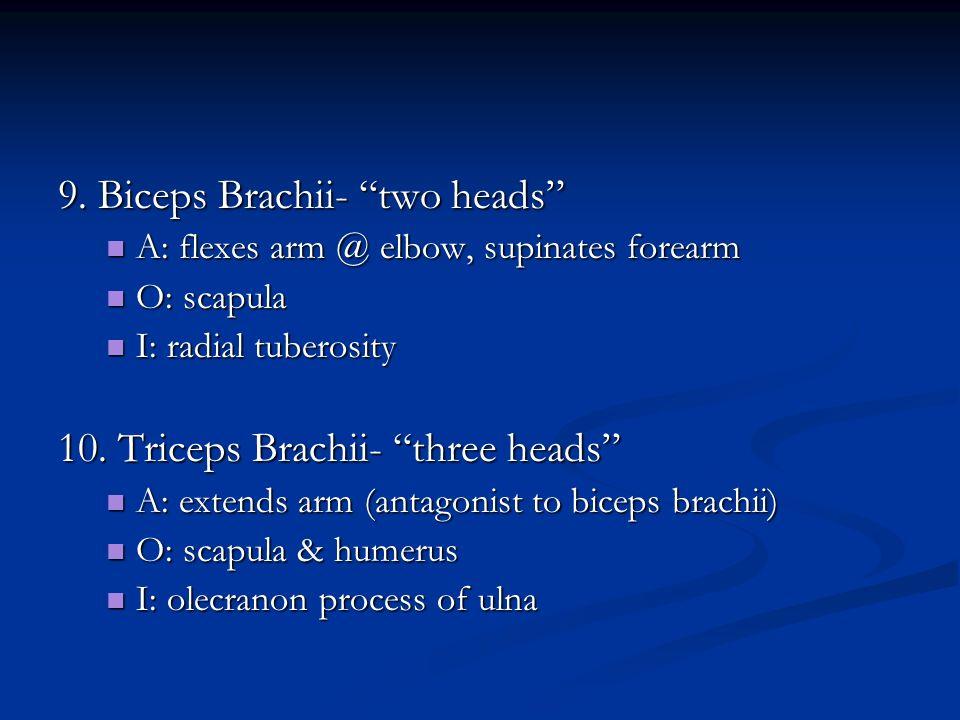 9. Biceps Brachii- two heads