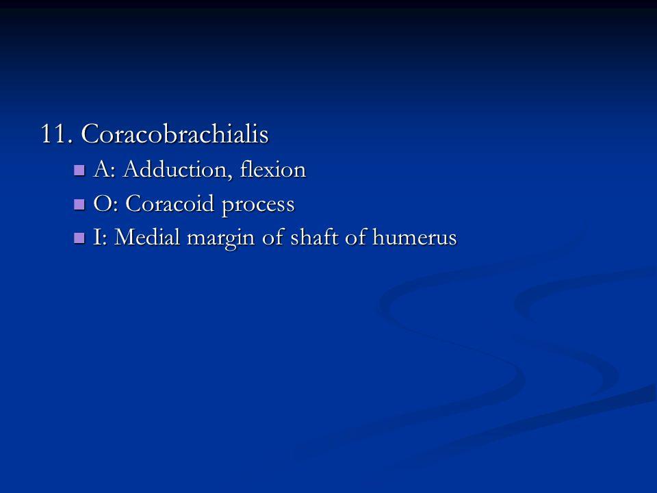 11. Coracobrachialis A: Adduction, flexion O: Coracoid process