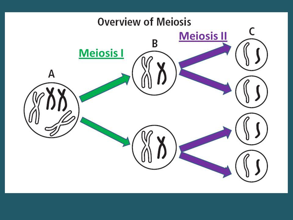 Meiosis II Meiosis I