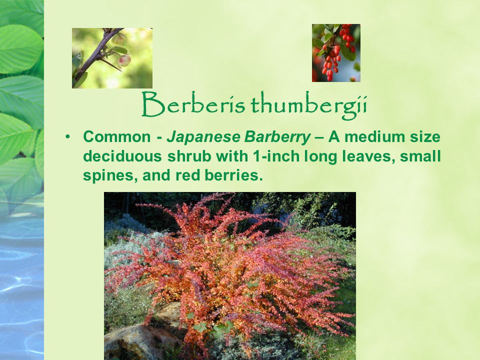 Berberis thumbergii Common - Japanese Barberry – A medium size deciduous shrub with 1-inch long leaves, small spines, and red berries.