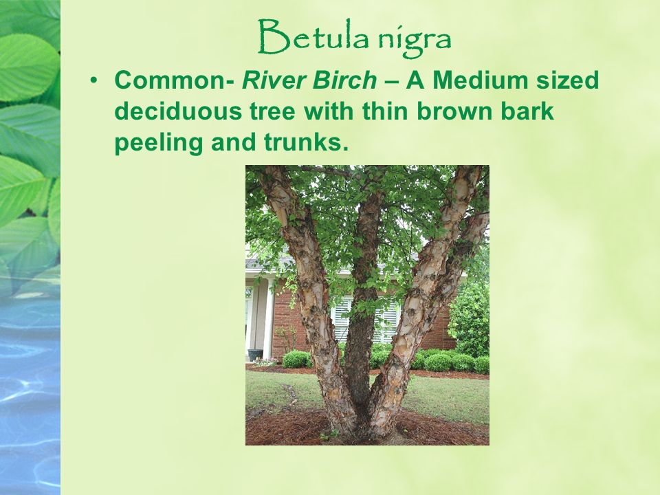 Betula nigra Common- River Birch – A Medium sized deciduous tree with thin brown bark peeling and trunks.