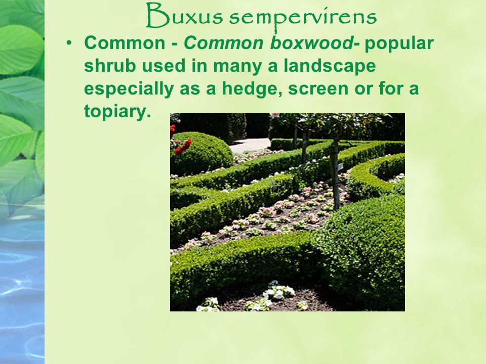 Buxus sempervirens Common - Common boxwood- popular shrub used in many a landscape especially as a hedge, screen or for a topiary.