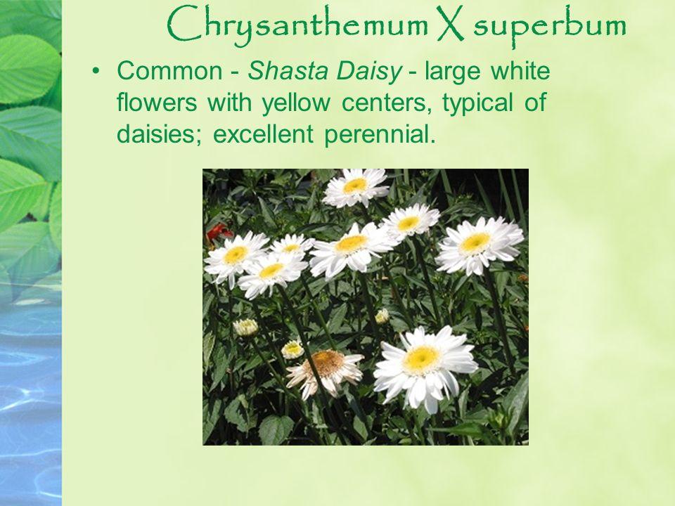 Chrysanthemum X superbum
